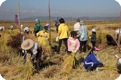収穫体験(稲刈りと棒崖がけ)
